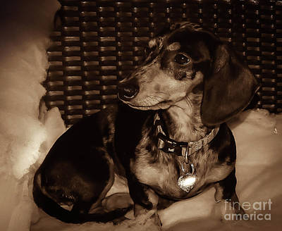 Photograph - Dash The Dachshund by Camille Pascoe