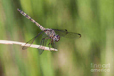 Photograph - Dashing Dragonfly  by Ruth Jolly
