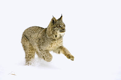 Canadian Lynx Photograph - Dashing Through The Snow by Melody Watson