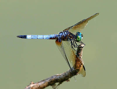 Tiger Dragonflies Photograph - Dashingly Handsome by Kala King