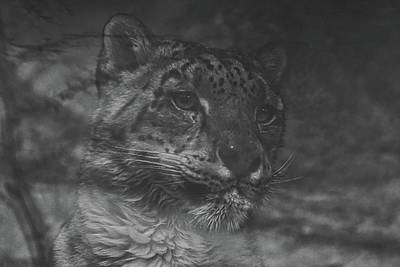 Photograph - Day Dreaming Snow Leopard by Ernie Echols