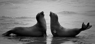 Seals Photograph - Dating by C.s.tjandra