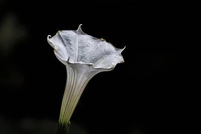 Photograph - Datura Bloom by Nathan Larson