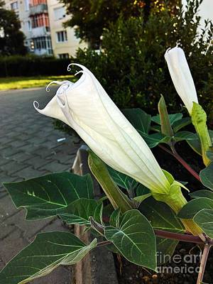 Photograph - Datura Bud 2 by Erika H