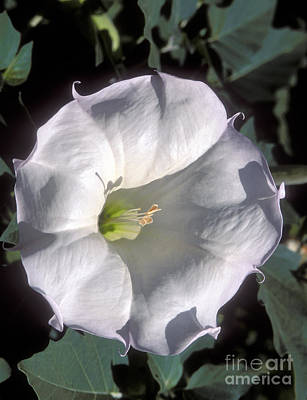Photograph - Datura Lily by Sandra Bronstein