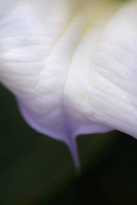 Photograph - Datura Tear by Alexander Kunz