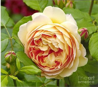 Photograph - David Austin Rose Golden Celebration 1 by Rod Ismay