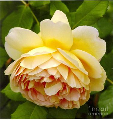 Photograph - David Austin Rose Golden Celebration 2 by Rod Ismay