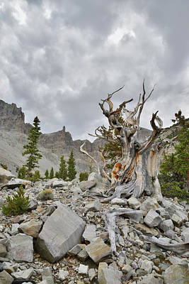 Photograph - David Muench's Bristlecone by Ray Mathis