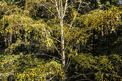 Photograph - David's Birch by Larry Darnell