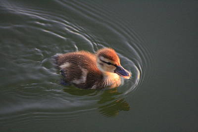 Photograph - Dawn Duckling At Captree by Christopher Kirby