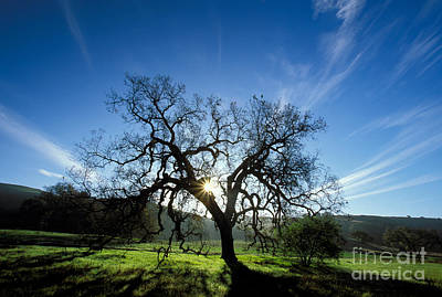 Photograph - Dawn Oak by Alice Cahill