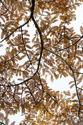 Leaves Changing Photograph - Dawn Redwood Autumn Foliage by Tim Gainey