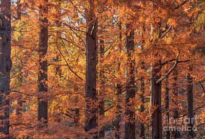 Photograph - Dawn Redwood Trees by Chris Scroggins