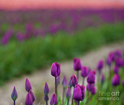 Photograph - Dawn Tulips by Mike Reid