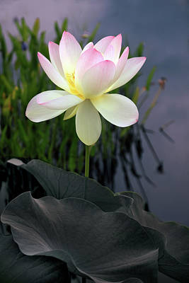 Evening Digital Art - Dawning Lotus by Jessica Jenney