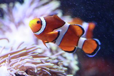 Clown Fish Photograph - Day Break by Paul Slebodnick