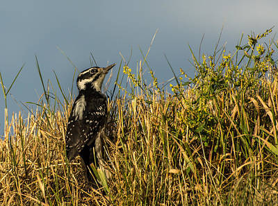 Hairy Woodpecker Photograph - Day Dreamer by Constance Puttkemery