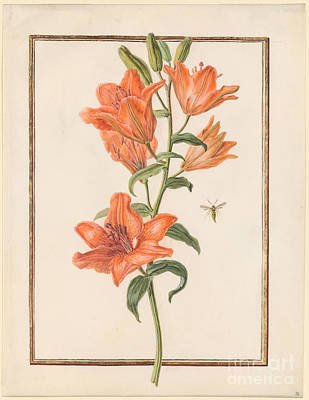 1780 Painting - Day Lily Hemerocallis by MotionAge Designs