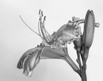 Photograph - Day Lily In Black And White by David and Carol Kelly