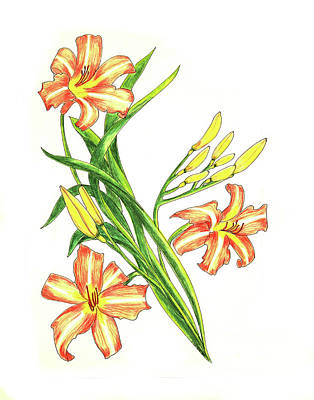 Day Lily Drawing - Day Lily One by Laura Wilson