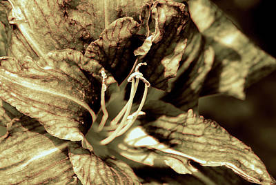 Photograph - Day Lily Sepia by Buddy Scott
