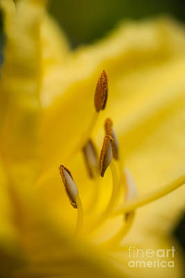 Photograph - Day Lily by Sue OConnor
