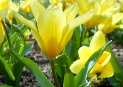 Photograph - Daydreaming Of Yellow Tulips by Kristin Aquariann