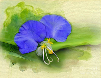 Photograph - Dayflower by Judi Bagwell