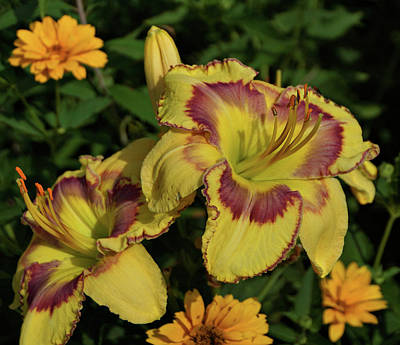 Print featuring the photograph Daylilies And Zinnia by Sandy Keeton
