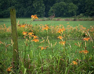 Photograph - Daylillies by Virginia Folkman