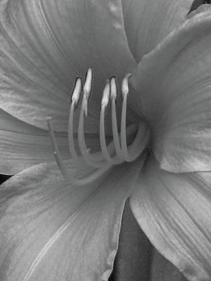 Photograph - Daylily 01 - Bw by Pamela Critchlow