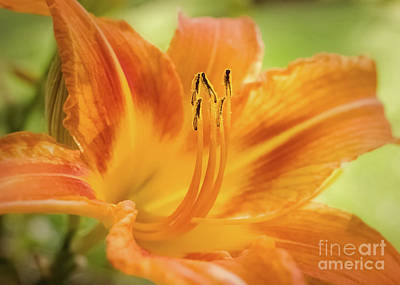 Single Red Orange Daylily Photograph - Daylily 3 by Mellissa Ray