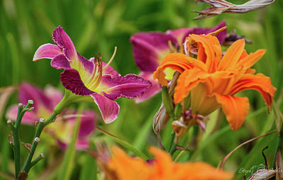 Photograph - Daylily Days by Steph Gabler