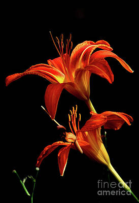 Photograph - Daylily Double by Douglas Stucky