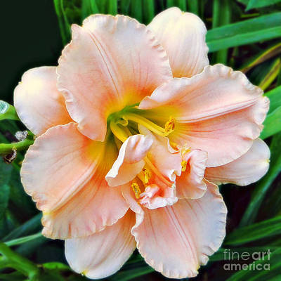 Photograph - Daylily Dream by Sue Melvin