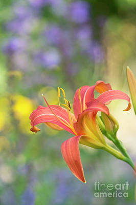 Photograph -  Daylily Hemerocallis Pink Prelude Flower by Tim Gainey