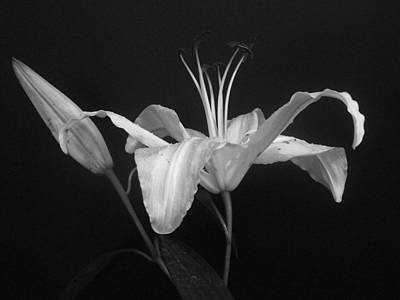 Photograph - Daylily In Bw by Margie Avellino