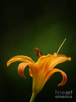 Daylily In Nature Photograph - Daylily In The Spotlight by Dorothy Lee