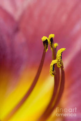 Red Daylily Photograph - Daylily by Jeannie Burleson