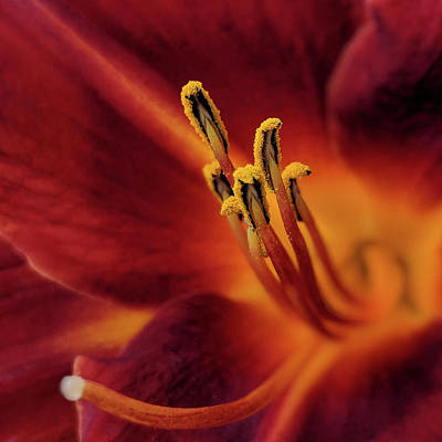 Photograph - Daylily Stamen by Richard Stephen
