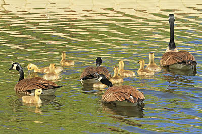 Baby Geese Wall Art - Photograph - Days Of Gold by Donna Kennedy