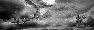 Photograph -  Daytona Beach Fl Gulls Stop Action Black And White by Tom Jelen