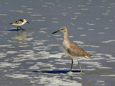 Photograph -  Daytona Beach Shorebirds  by Chris Mercer
