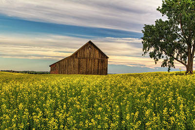Rustic Barns Photograph - Dazzling Canola In Bloom by Mark Kiver