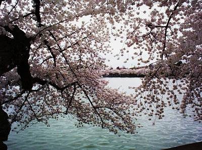 Dc Cherry Blossoms Art Print