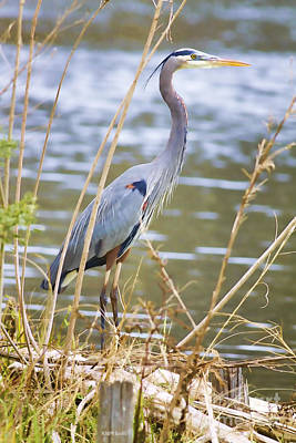 Florida Wildlife Photograph - De Leon Springs Blue by Deborah Benoit