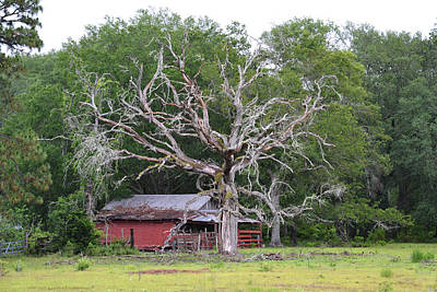 Photograph - Dead Oak And Old Barn by rd Erickson