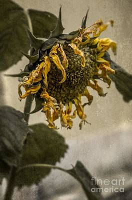 Dead Sunflower Art Print by Carlos Caetano