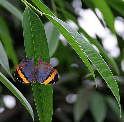 Photograph - Deadleaf Butterfly Open by Ronda Ryan